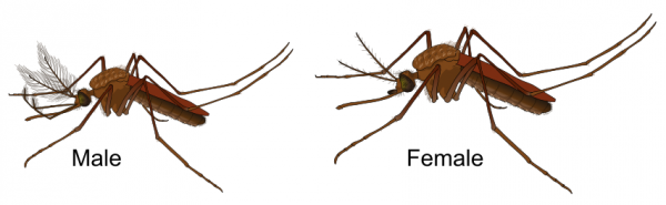 Source: http://biology.stackexchange.com/questions/35973/how-do-you-identify-a-mosquitos-sex-without-letting-it-bite-you