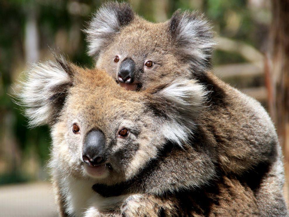 koala two