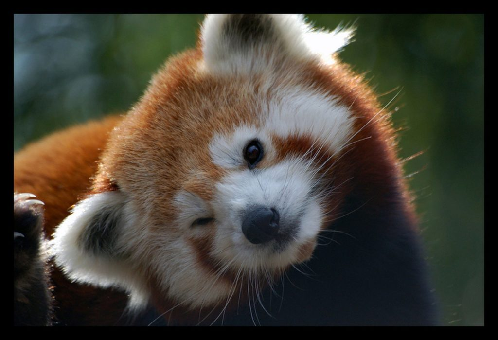 red panda wink