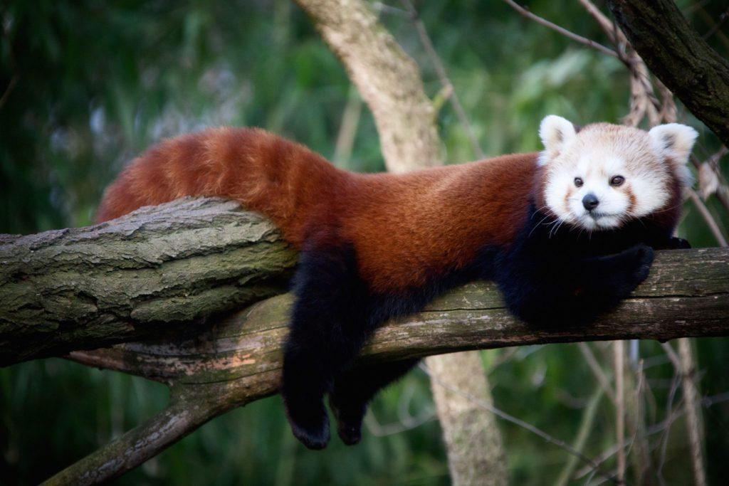 red panda cute