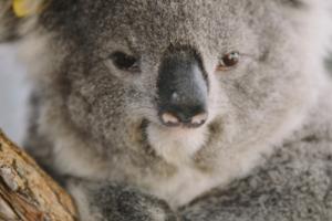 GoFundMe Koalas