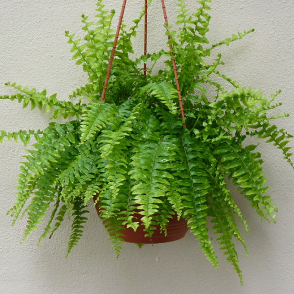 a photo of hanging boston fern houseplants