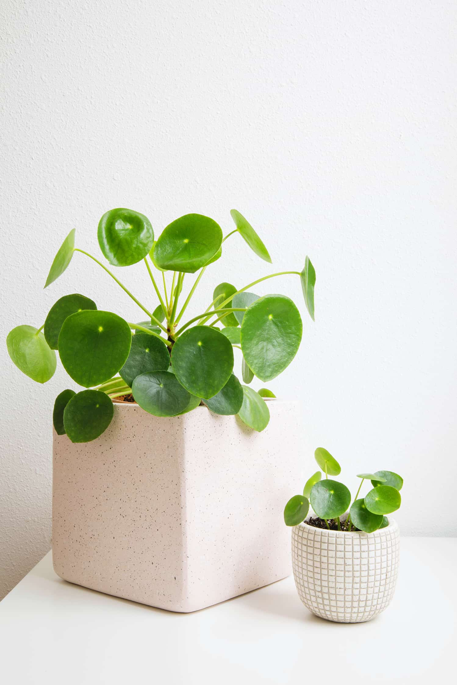 a photo of two pilea plants
