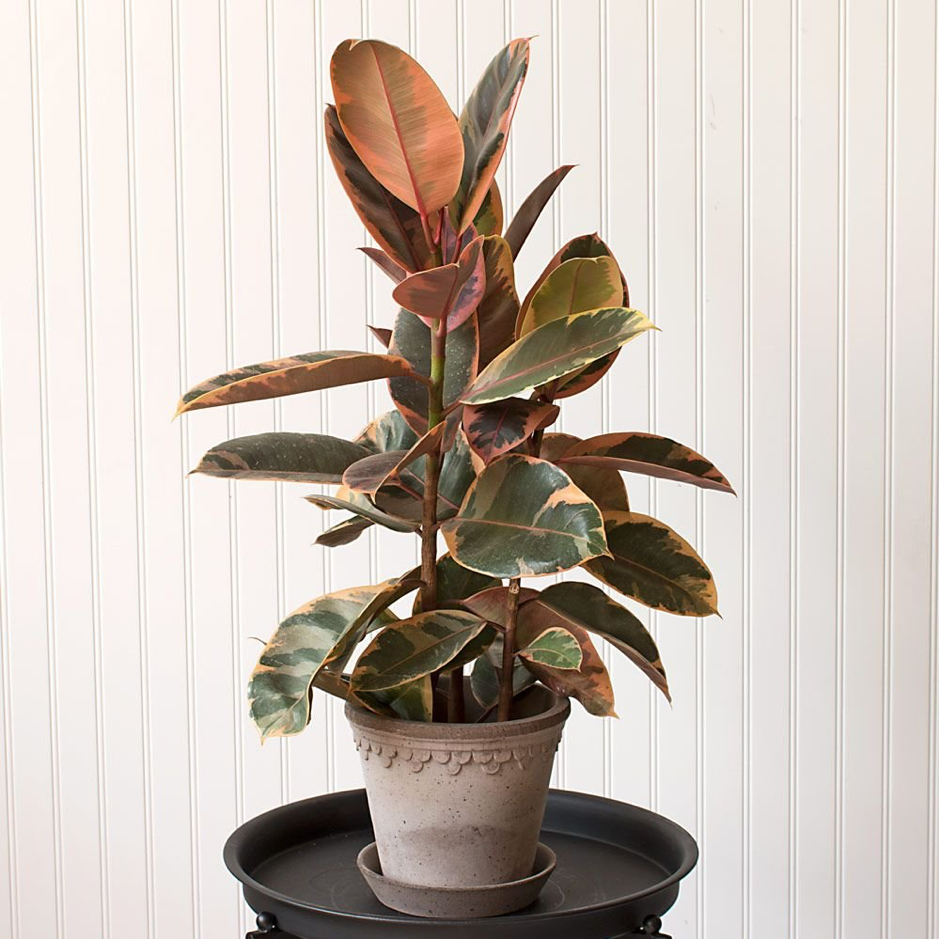 image of potted rubber houseplants