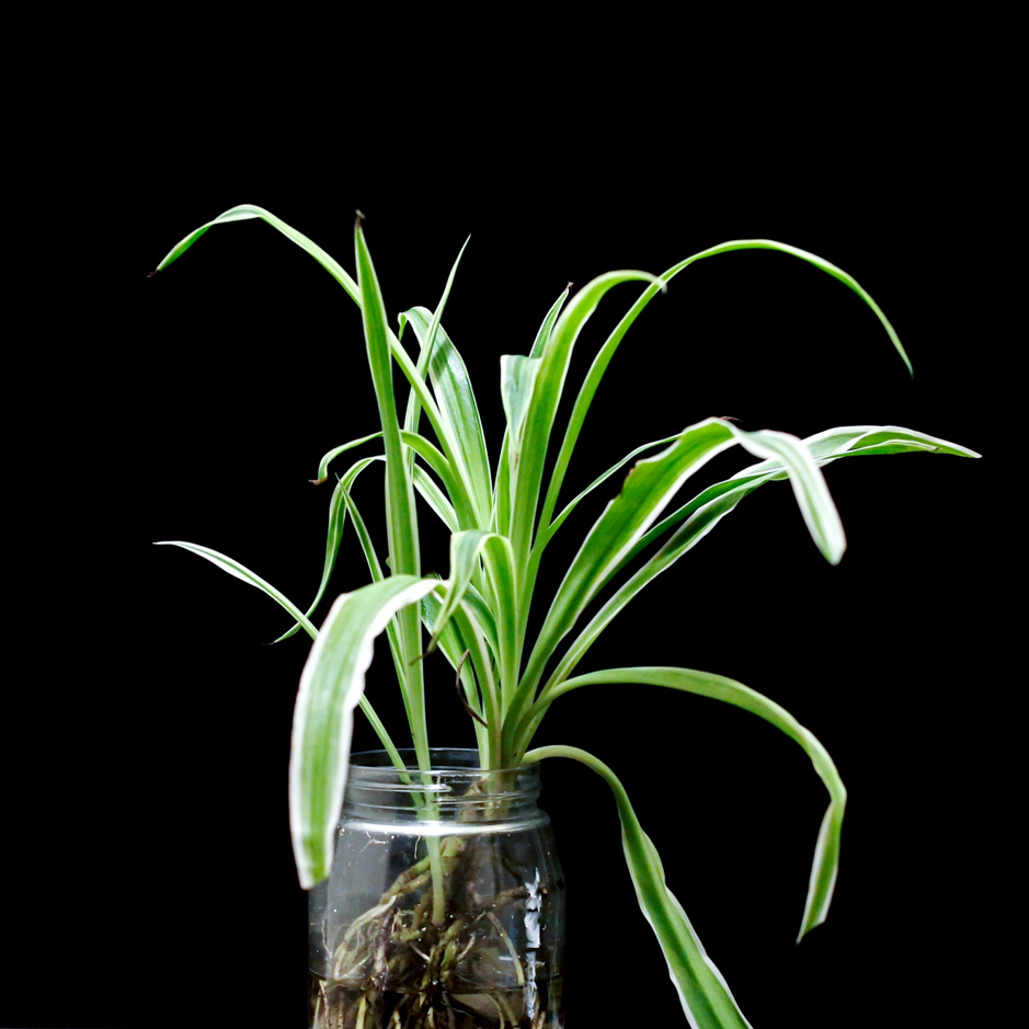 photo of spider houseplants